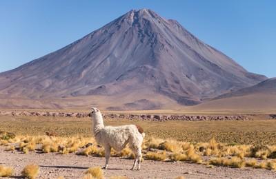 Llama in Atacama